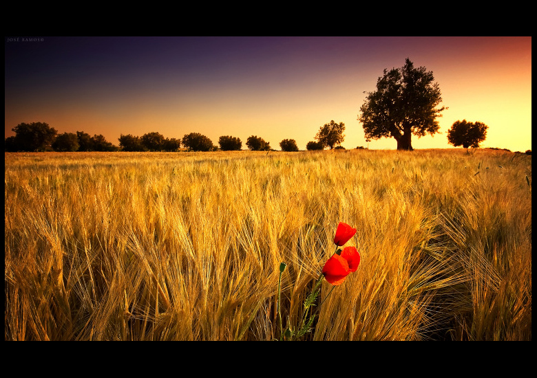 Alentejo landscape photography in Baixo Alentejo, showing a poppy amidst a wheat field during sunset, made by landscape photographer José Ramos from Portugal