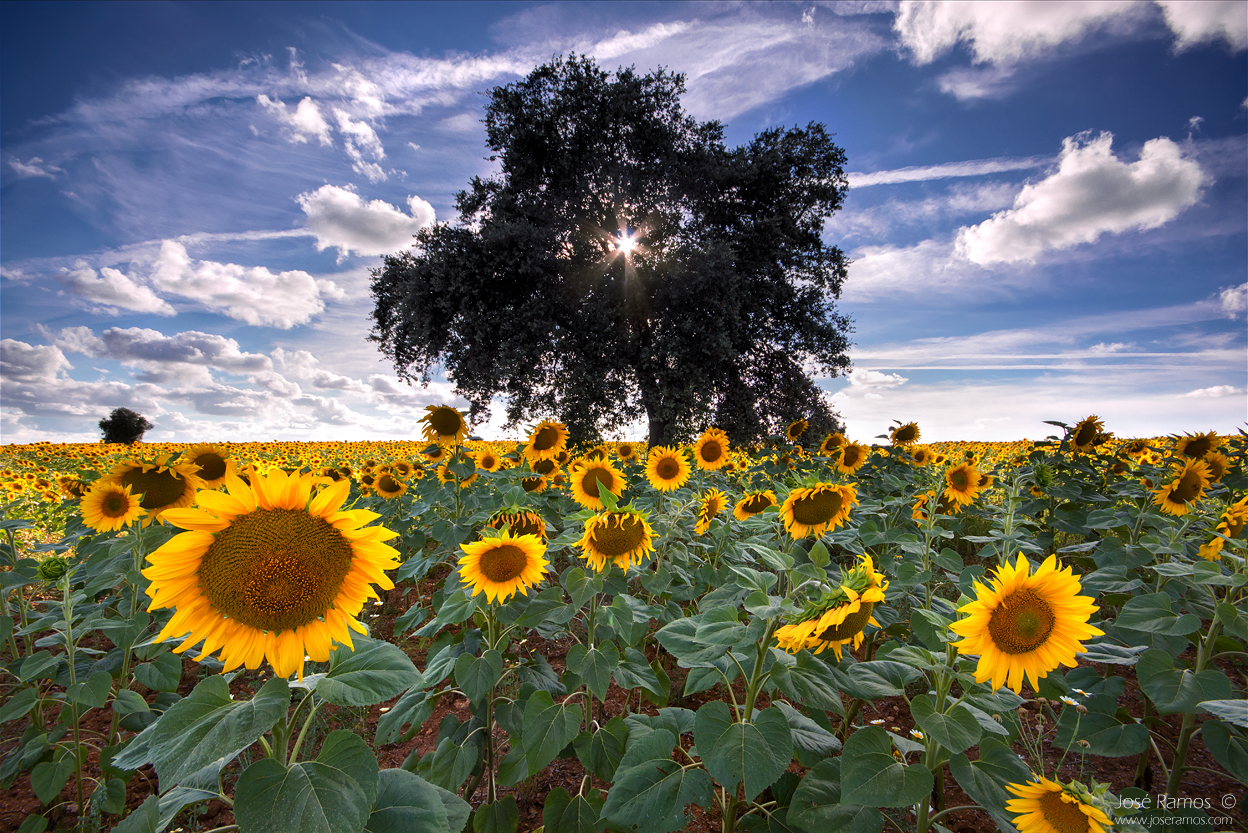 Landscape photography in Baixo Alentejo, depicting a tree amidst a sunflowers field, shot by landscape photographer José Ramos from Portugal