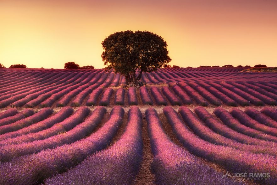 Sunset landscape photography showing the lavender fields of Brihuega in Spain, captured by landscape photographer José Ramos